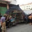 Cina, squalo balena sul carretto: pesa 2 tonnellate, lungo 5 metri 2