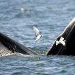 Baleonottera mangia acciughe: il suo pasto piace anche ai gabbiani 10