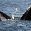 Baleonottera mangia acciughe: il suo pasto piace anche ai gabbiani 08