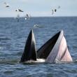 Baleonottera mangia acciughe: il suo pasto piace anche ai gabbiani 07