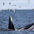 Baleonottera mangia acciughe: il suo pasto piace anche ai gabbiani 06