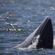 Baleonottera mangia acciughe: il suo pasto piace anche ai gabbiani 04