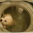Hong Kong, mette il cane in lavatrice e pubblica le foto su Facebook04