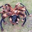 Chica the DogSpider, cane vestito da tarantola spaventa passanti08