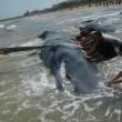Vasto, sette capodogli arenati sulla spiaggia di Punta Penna11