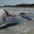 Vasto, sette capodogli arenati sulla spiaggia di Punta Penna14