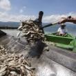 """Mistero dei pesci morti in Messico: fenomeno """"non dovuto a cause naturali"""" FOTO 4"""