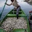 """Mistero dei pesci morti in Messico: fenomeno """"non dovuto a cause naturali"""" FOTO 5"""