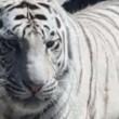 India. Scavalca il recinto della tigre allo zoo: ucciso a morsi 2