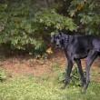 Zeus è morto: era il cane più alto del mondo, misurava 112 cm alla spalla04
