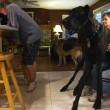 Zeus è morto: era il cane più alto del mondo, misurava 112 cm alla spalla02