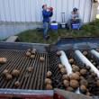 Scuole chiuse per tre settimane nel Maine: ragazzi devono imparare a raccogliere patate 2