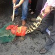 granchi scappati dal suv: cinesi li raccolgono anche se c'è il coccodrillo FOTO2
