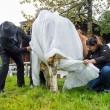 Mucche col pannolone: la protesta tedesca contro la legge Ue sul letame FOTO 2