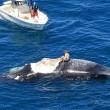 Surf sulla carcassa della balena in Australia FOTO 2