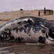 Carcassa di balena rischia di esplodere causa gas FOTO 5