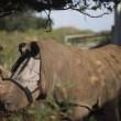 Tanda, il rinoceronte costretto a vivere con la mascherina sugli occhi01