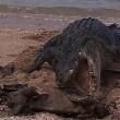 Australia, coccodrillo marino mangia tartaruga morta