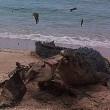 Australia, coccodrillo marino mangia tartaruga morta04