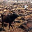 Nepal, il grande mattatoio: migliaia di animali macellati in onore di dea indu 02