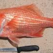 Australia, pescata scorfano di 84 anni01