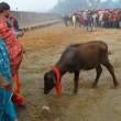 Nepal, il grande mattatoio: migliaia di animali macellati in onore di dea indu 08
