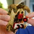 """Tartaruga torna a muoversi grazie alle """"ruote"""" di Lego 03"""