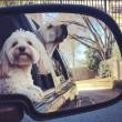 """Pete e Tally, cani """"sposi"""" che condividono tutto03"""