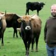 """Gran Bretagna, nazi-mucche di Hitler soppresse: """"Erano troppo feroci"""" 01"""