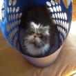 Atchoum, il gatto super-peloso star del web 6