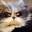 Atchoum, il gatto super-peloso star del web 03
