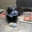Atchoum, il gatto super-peloso star del web 02