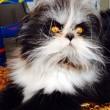 Atchoum, il gatto super-peloso star del web 15