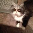 Atchoum, il gatto super-peloso star del web 411