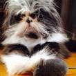 Atchoum, il gatto super-peloso star del web 13