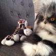 Atchoum, il gatto super-peloso star del web 12