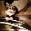Atchoum, il gatto super-peloso star del web 10