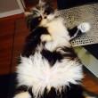Atchoum, il gatto super-peloso star del web 09
