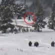 Usa, creatura cammina nel parco di Yellowstone. E' un bigfoot?