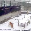 Tanya, tigre siberiana fa enormi palle di neve per passare tempo02