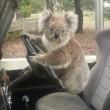 "Australia, koala vuole ""rubare"" auto in sosta"