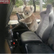 "Australia, koala vuole ""rubare"" auto in sosta13"