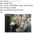 "Australia, koala vuole ""rubare"" auto in sosta02"