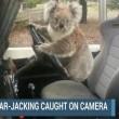 "Australia, koala vuole ""rubare"" auto in sosta4"