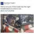 "Australia, koala vuole ""rubare"" auto in sosta05"