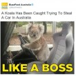"Australia, koala vuole ""rubare"" auto in sosta06"