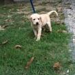 Romeo avvelenato con polpette: cucciolo di labrador accompagnava ciechi