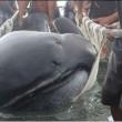 Megamouth, pescato raro squalo dalla bocca gigante e dai denti finissimi