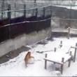 Tanya, tigre siberiana fa enormi palle di neve per passare tempo