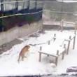Tanya, tigre siberiana fa enormi palle di neve per passare tempo03
